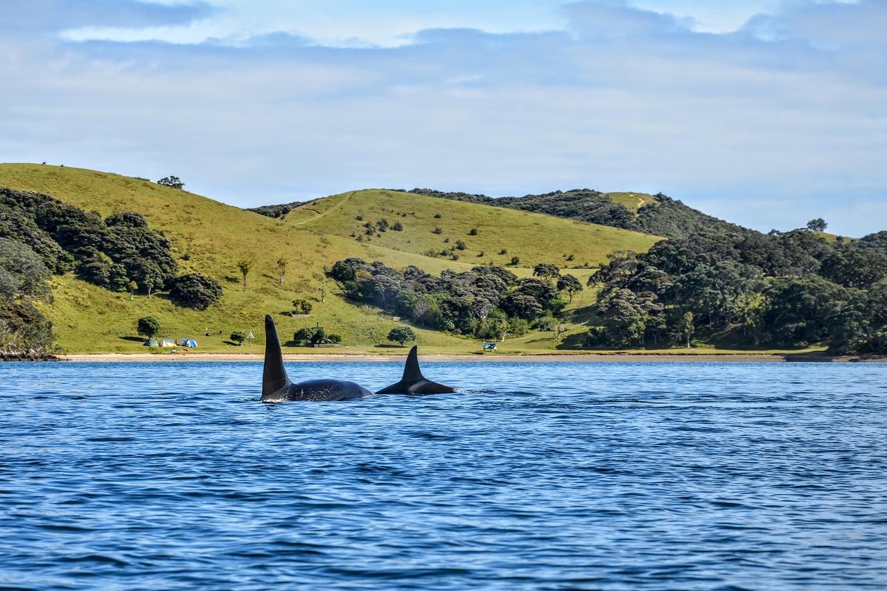 orca at the beach